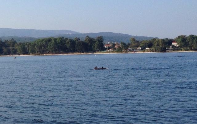 Delfine in der Ria Arousa in Galizien