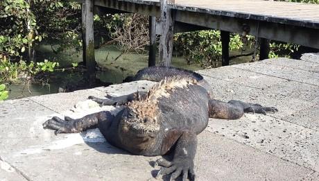 Die schwarzen Iguanas liegen auf Santa Cruz fast überall in der Sonne, um Energie zu tanken.