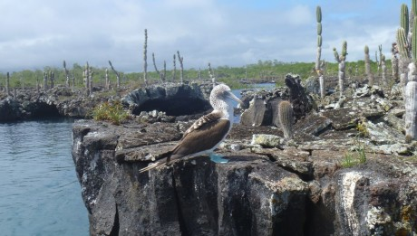 Blaufusstölpel direkt neben unserem Boot bei der Einfahrt in die Lavatunnel auf Isabella Galapagos