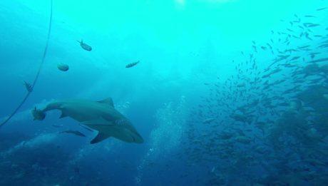 Bull Sharks in Mbengga beim Shark Dive